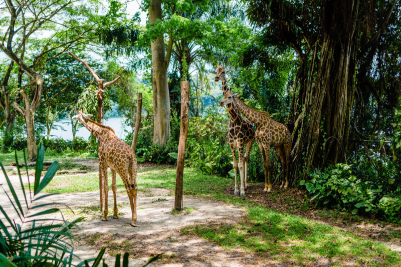 Singapore Zoo 018