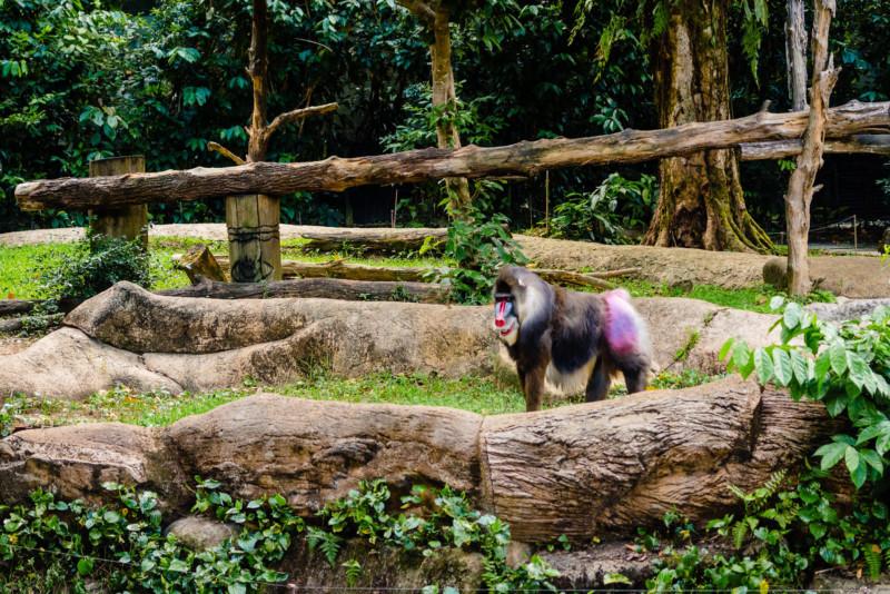 Singapore Zoo 042