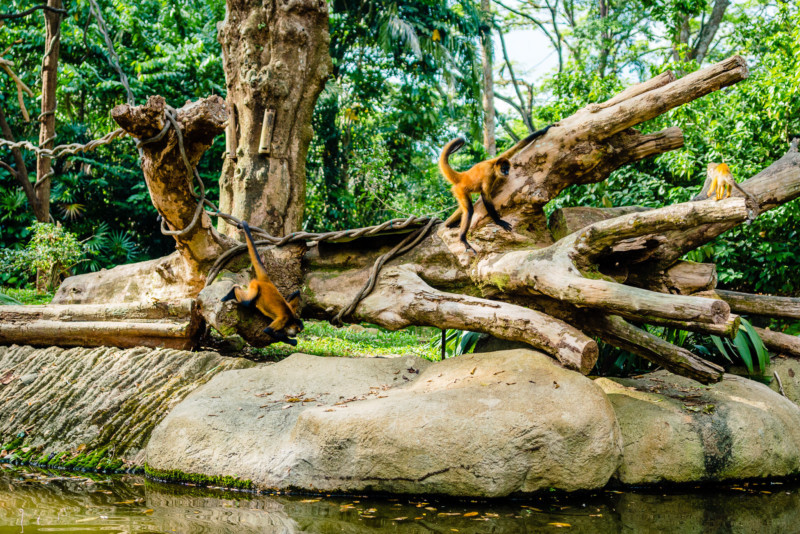Singapore Zoo 052