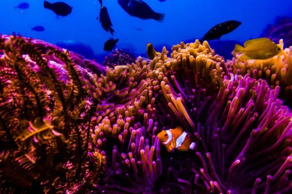 Findet Nemo Clownsfisch
