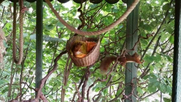 Auswilderung Eichhörnchen